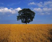 Oak Tree In A Barley Field, Ireland