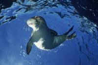 Hawaii, Maui, Molokini, Monk Seal Playing