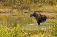 Moose In Pond In Kananaskis Country, Alberta, Cana