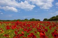 A Field Full Of Red Flowers Northumberland, Engla