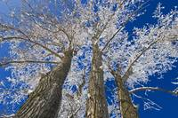 Hoarfrost On Cottonwood Trees, Dugald, Manitoba, C