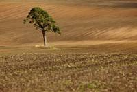 A Single Tree In A Field Scottish Borders, Scotla