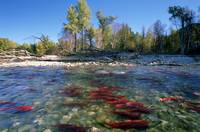 Spawning Sockeye Salmon, Adams River, British Colu