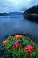 Starfish On Moss At Low Tide, Bligh Provincial Par