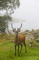 A Deer Stands In A Foggy Meadow, Argyll, Scotland