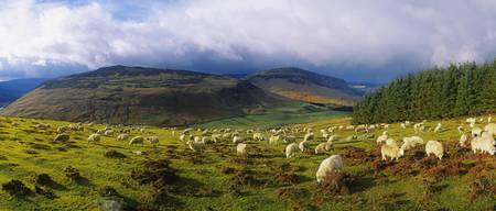 Flock Of Sheep Grazing In A Field, County Wicklow,