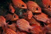 Hawaiian Squirrelfish