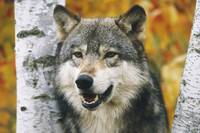 Wolf In Forest, Autumn, Minnesota