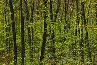 Forest In Spring Foliage, Six Mile Lake Provincial