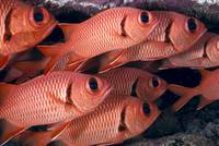 Hawaii, Shoulderbar Soldierfish