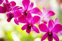 Hawaii, Closeup Of Orchid Lei