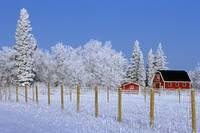 Hoarfrost On Trees Around Red Barns In Winter, Man