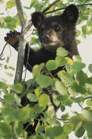 Black Bear Cub Climbing Birch Tree, Minnesota