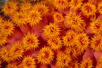 Indonesia, Close-Up Top View Of Orange Tube Coral