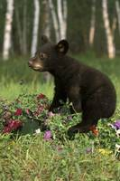 Black Bear Cub Playing In Flowers, Minnesota