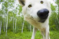 Closeup Of Adult Wolf In Forest, Minnesota