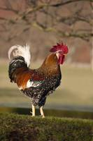 Rooster, Northumberland, England