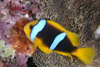 Fiji, Lau Islands, Anemone Fish And Eggs At Coral