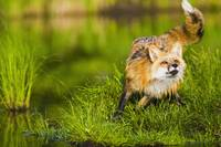 Red Fox Along Shoreline Of A Pond, Minnesota