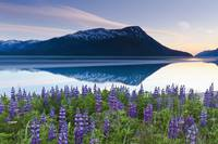 Lupine Along Turnagain Arm At Sunset, Chugach Nati