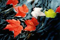 Red Maple Leaves In Stream