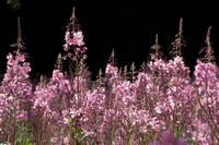 Detail of Fireweed in Bloom Alaska Summer