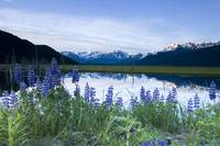 Lupine Blooms Along Pond 20 Mile River Valley AK S