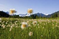Alaska Cotton Grass in bloom in a meadow near Mend