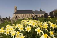 Yellow Daffodils In A Cemetery Beside A Church Fo