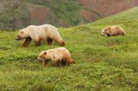 Grizzly Bear Sow And Two Cubs On Tundra, Alaska