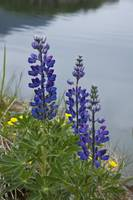 Lupine flowers, Southwest Alaska, Summer