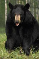 Portrait Of Captive Black Bear Minnesota