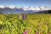 Scenic view of a wildflower meadow and mountains n