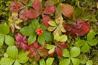 Dwarf Dogwood growing from a bed of dense mosses,