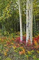 Colorful view of Aspen tree trunks and Fall foliag