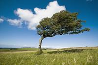 Wind-Swept Solitary Tree On Open Grassy Moorland