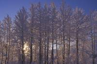 Frost Covered Trees, Southcentral, Alaska