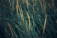 Close up of grass along Old Womens Bay, Kodiak Isl