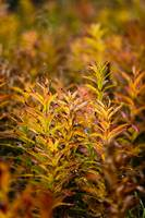 Fireweed with Autumn colors, Kodiak Island, Southw