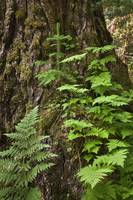Wood ferns and spruce tree grow out of a large spr