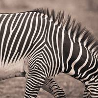 Close-Up Of A Zebra Kenya