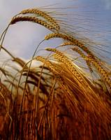 Barley, County Meath, Ireland