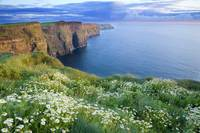 Summer Daisies Growing In Abundance On Cliffs Of M