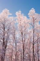 Hoarfrost covered birch trees in Russian Jack Park