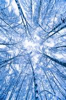 Tree top abstract of a snow covered Birch forest,