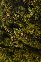 Close up of Spruce Tree, Autumn, Kodiak Island, So