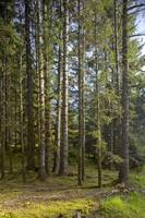 Spruce Tree forest in Autumn, Kodiak Island, South