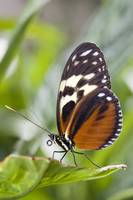 Tiger Longwing Butterfly Resting On Leaf, Niagara
