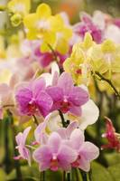 Hawaii, Field Of Pink And Yellow Orchids
