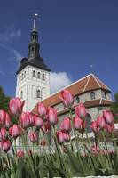 Tulips Outside Niguliste Church, Tallinn, Estonia